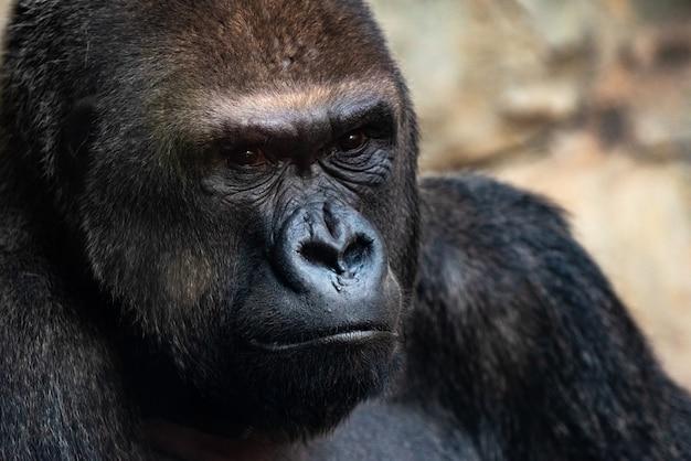 Portret potężnego goryla o wyrazistych oczach.