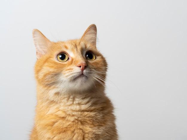 Portret powabny czerwony kot patrzeje zaskakujący na bielu