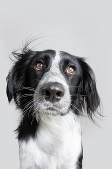 Portret poważne i wyraziste oczy psów. na białym tle na szarym tle
