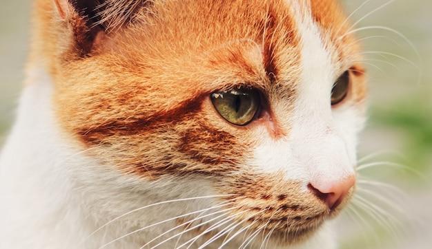 Portret poważnego bezdomnego czerwonego imbirowego kota pojęcie zwierząt domowych zwierząt domowych
