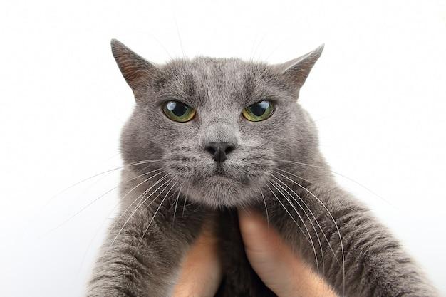 Portret poważnego szarego kota