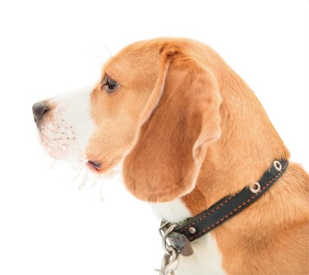Portret profilowy beagle angielski, szczeniak na na białym tle