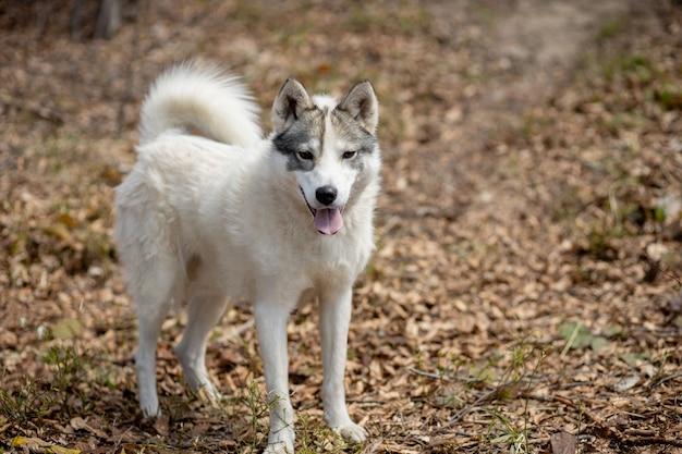 Portret przepięknego psa husky syberyjskiego stojącego w jasnym, czarującym jesiennym lesie.