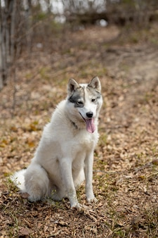 Portret przepięknej siberian husky pies stojący w jasnym, czarującym lesie jesienią