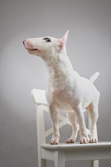 Portret psa bullterier w profilu