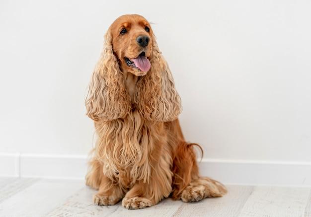 Portret psa cocker spaniel angielski w domu na białej ścianie