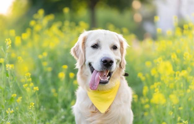 Portret psa golden retriever otoczony kwitnącymi kwiatami