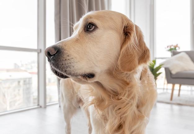 Portret psa golden retriever we wnętrzu domu