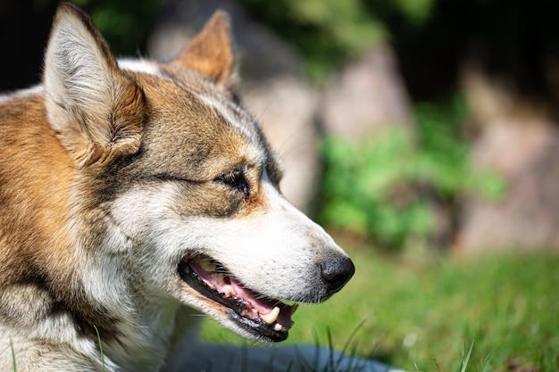 Portret psa husky, leżąc na trawie.