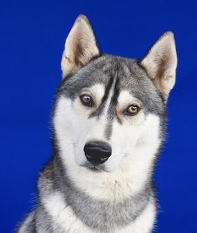Portret psa husky na niebieskim tle