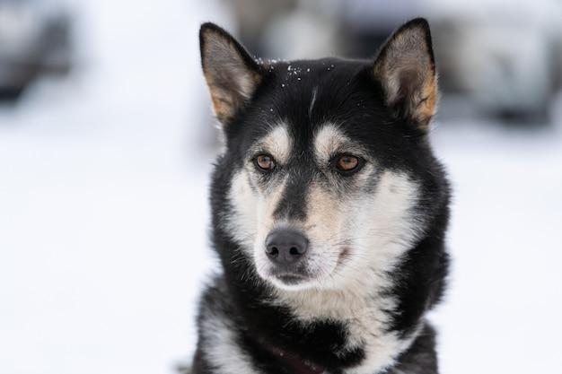 Portret psa husky, tło zima śnieg. zabawny zwierzak na spacerze przed szkoleniem psów zaprzęgowych.