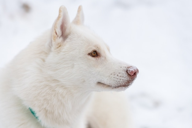 Portret psa husky, tło zima śnieg