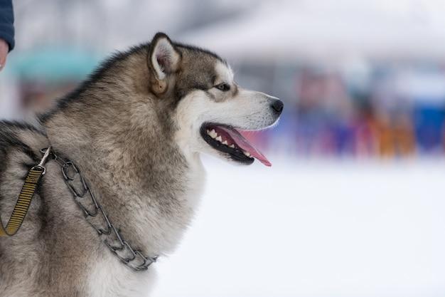Portret psa husky. zabawny zwierzak na spacerze przed treningiem psich zaprzęgów.