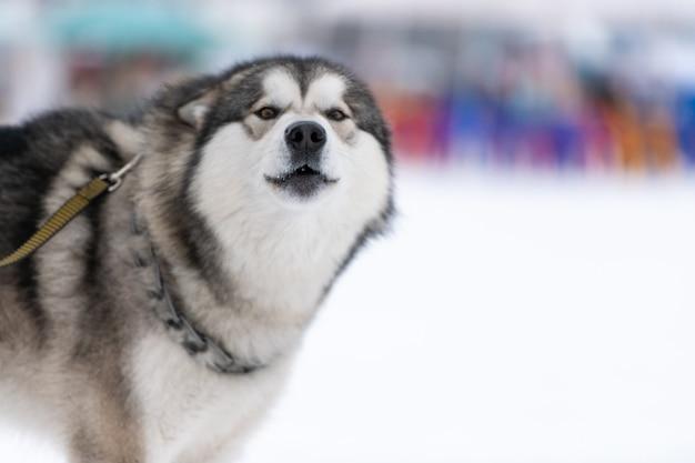 Portret psa husky