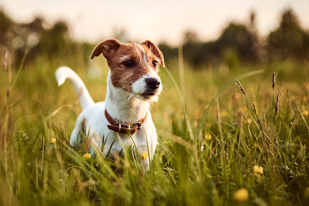 Portret psa jack russell terrier na zewnątrz
