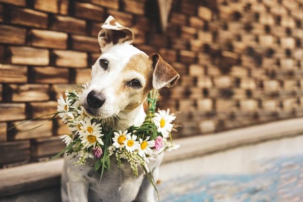 Portret psa jack russell w wieniec letnich stokrotek na tle drewnianego domu
