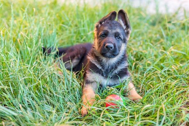 Portret psa mały szczeniak owczarka niemieckiego leży na zielonej trawie i bawi się piłką. rozmazane tło. koncepcja szczęśliwych zwierząt, piękna kartka ze zwierzęciem. skopiuj spase
