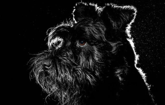 Portret psa na czarnej ścianie