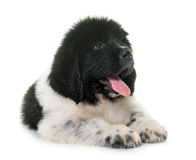 Portret psa nowofundlanda