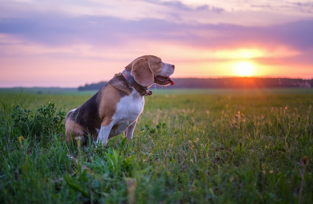 Portret psa rasy beagle na piękny zachód słońca niebo i światło słoneczne podczas spaceru wiosną. naturalny krajobraz