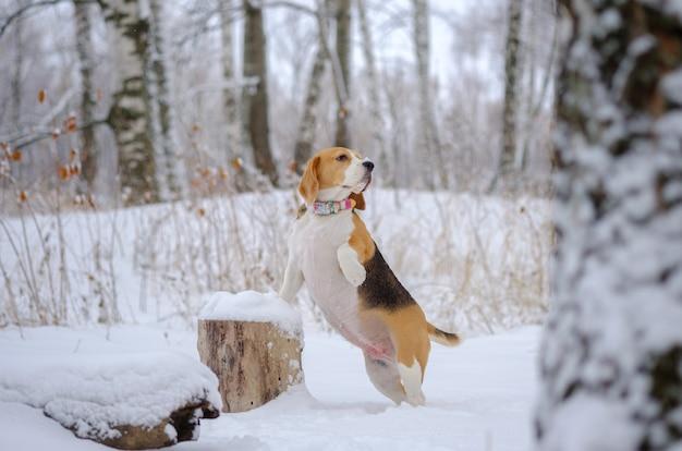 Portret psa rasy beagle na spacerze w winter park po obfitych opadach śniegu