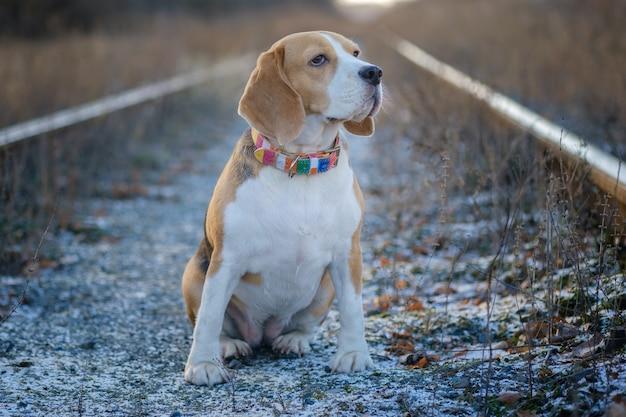 Portret psa rasy beagle na spacerze