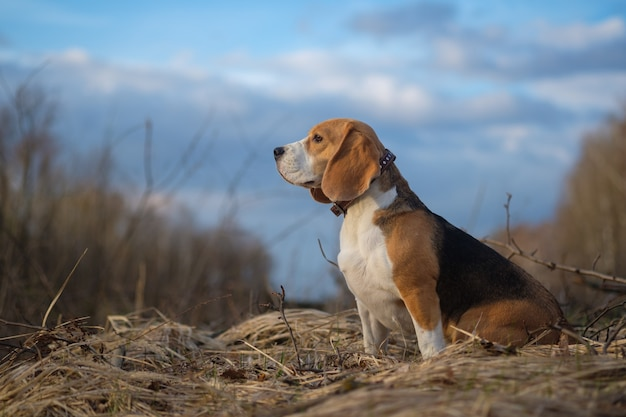 Portret psa rasy beagle podczas spaceru po lesie w wiosenny wieczór
