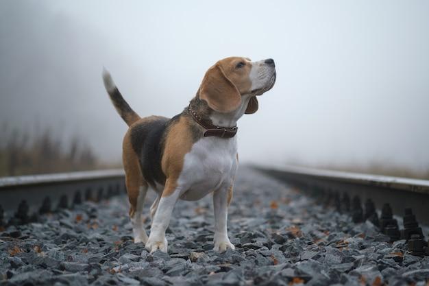 Portret psa rasy beagle w gęstej mgle