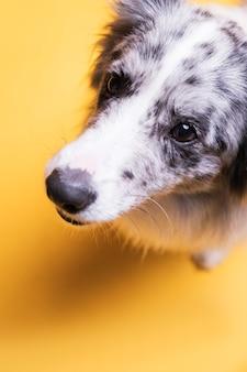 Portret psa rasy border collie