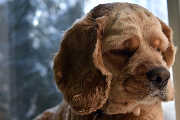 Portret psa rasy cocker spaniel w domu