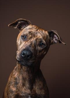 Portret psa rasy mieszanej w studio wnętrz z brązową ścianą