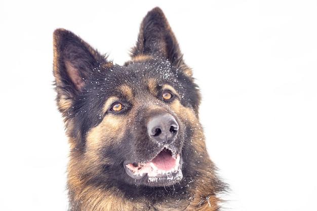 Portret psa rasy owczarek niemiecki z bliska. szkolenie pasterskie.