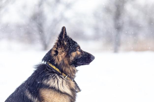 Portret psa rasy owczarek niemiecki z bliska