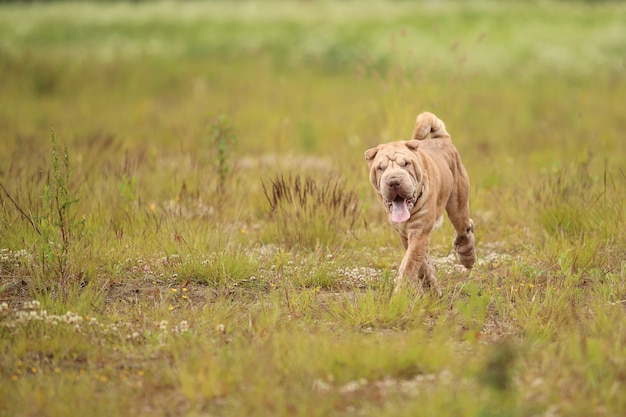 Portret psa rasy shar pei na spacerze po polu