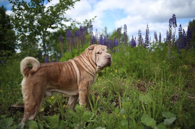 Portret psa rasy shar pei na spacerze po wiejskiej drodze. zielona trawa