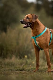 Portret psa rhodesian ridgeback stojącego na łące na świeżym powietrzu na zielonym polu