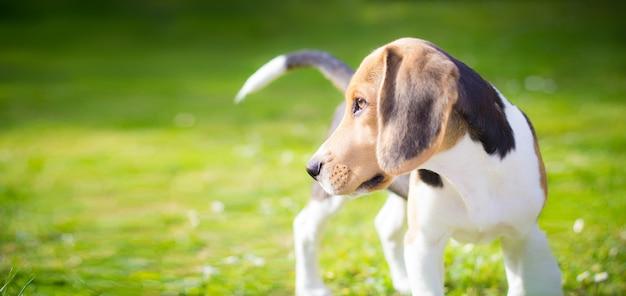 Portret psa szczeniaka beagle