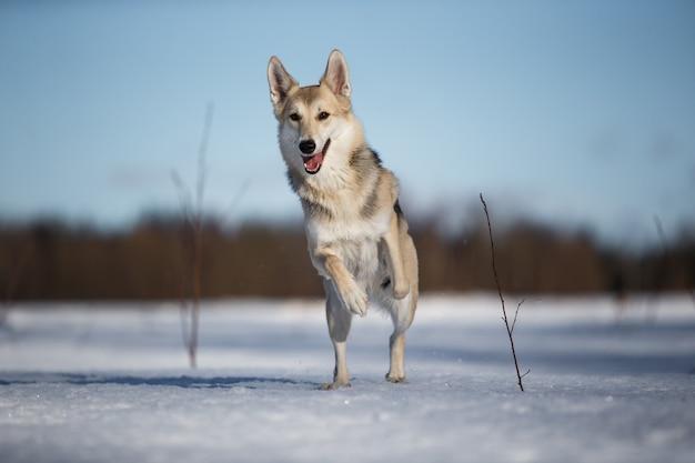 Portret psa w zimowej łące działa w kierunku kamery patrząc na kamery.