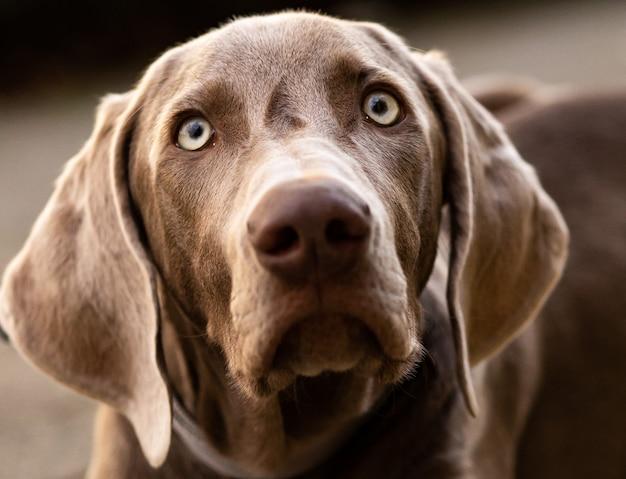 Portret psa wyżeł weimarski niemiecki