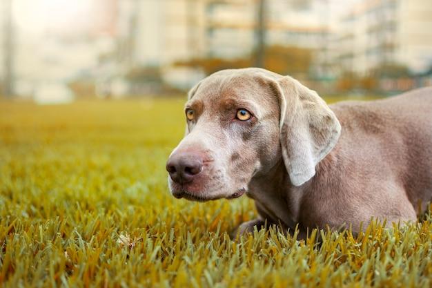 Portret psa wyżeł weimarski w jesiennym krajobrazie w kolorach ochry.