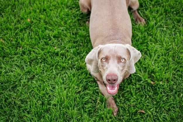 Portret psa wyżeł weimarski, widok z góry, patrząc na kamery, leżąc na zielonej trawie w parku.