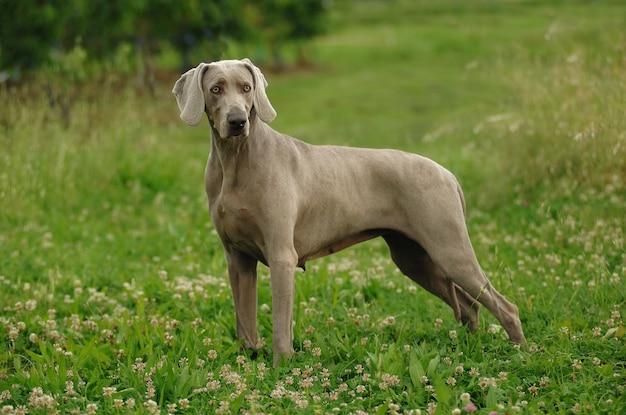 Portret psa wyżeł weimarski