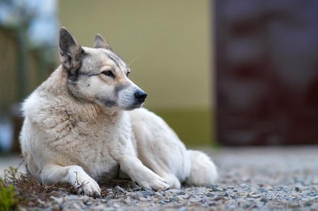 Portret psiego trakenu zachodni syberyjski laika siedzi outdoors w jardzie