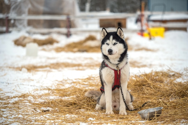 Portret psów siberian husky w zimie
