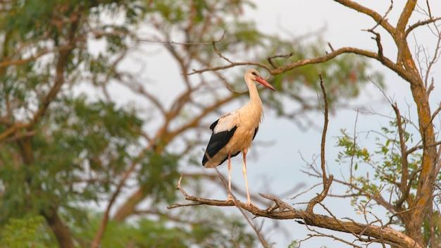 Portret ptak bocian biały ciconia ciconia ptak na zewnątrz w przyrodzie.