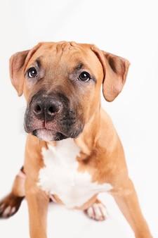 Portret puppy american staffordshire terrier na białym tle. zbliżenie pysk psa w studio