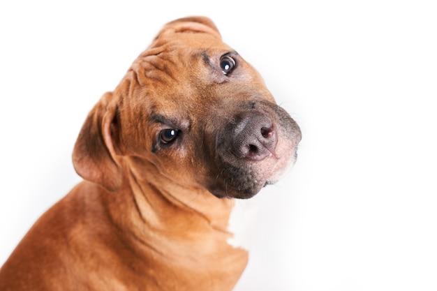 Portret puppy american staffordshire terrier na białym tle.