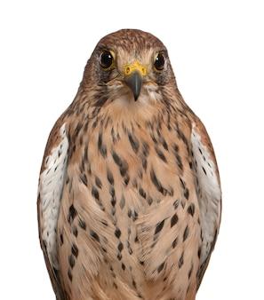 Portret pustułka falco tinnunculus, ptak drapieżny na białym tle