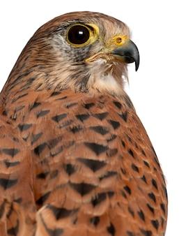 Portret pustułki zwyczajnej, falco tinnunculus, ptaka drapieżnego przed białą powierzchnią