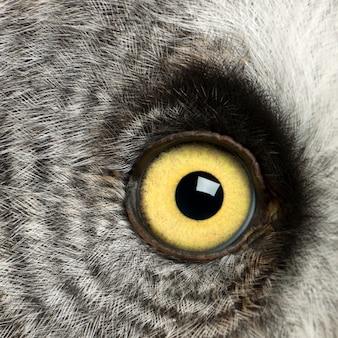 Portret puszczyka mszarnego lub sowy lapońskiej, strix nebulosa, bardzo dużej sowy, oko